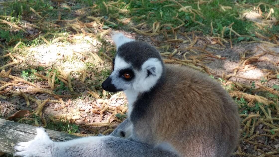 Lemurien Maki