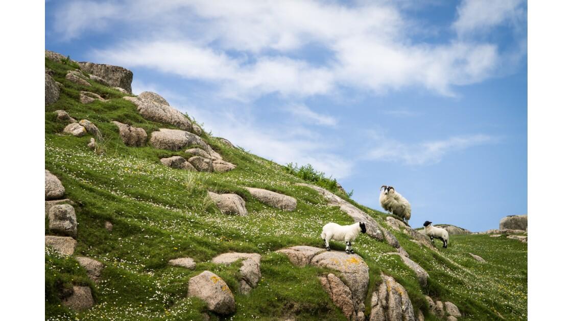 Mouton et agneaux