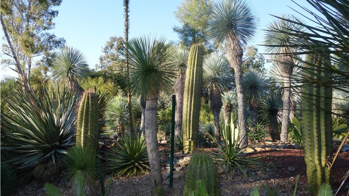 Des cactus