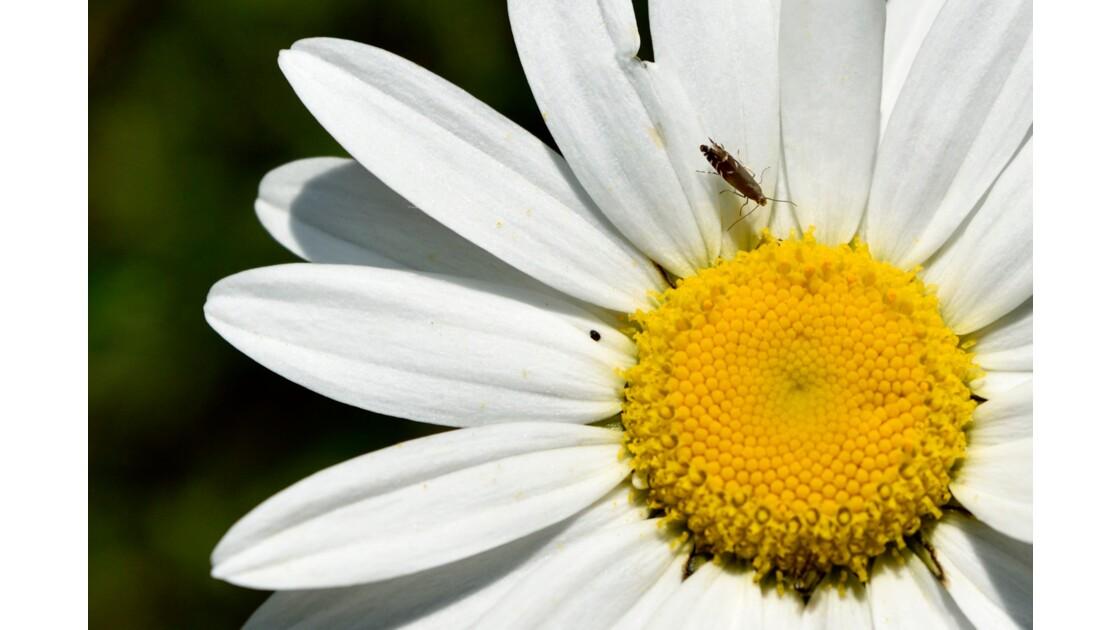 Fleur des chanmps