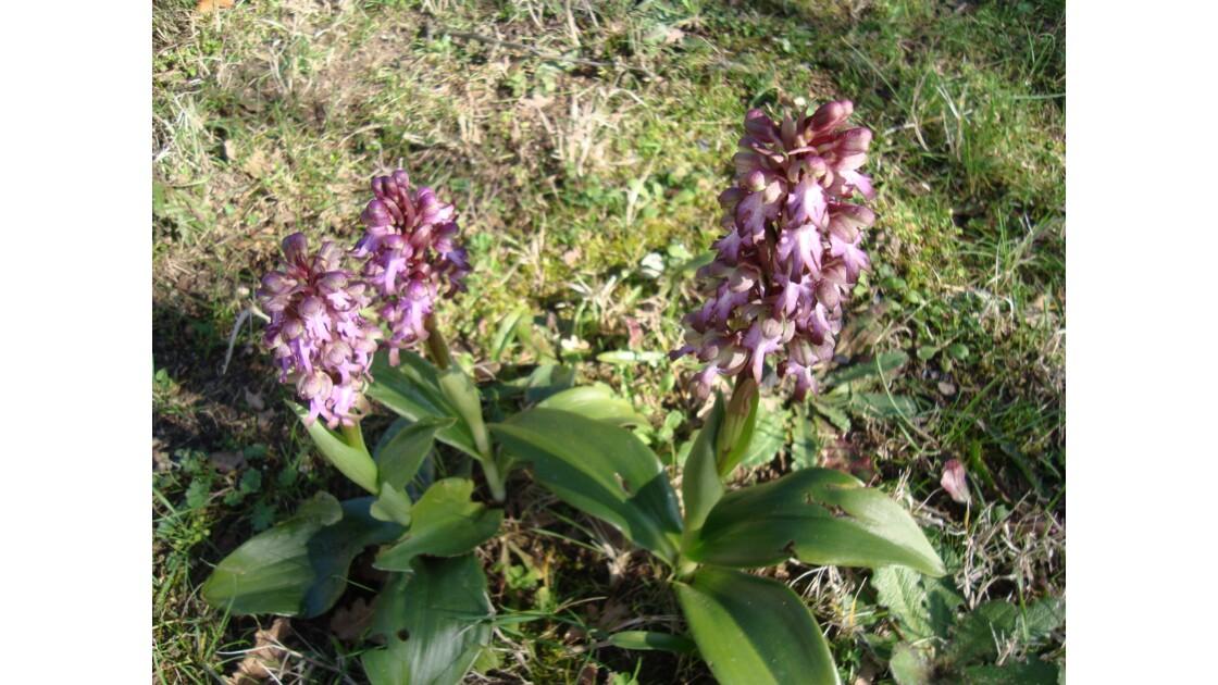 Orchis sauvages en  Février 2015...
