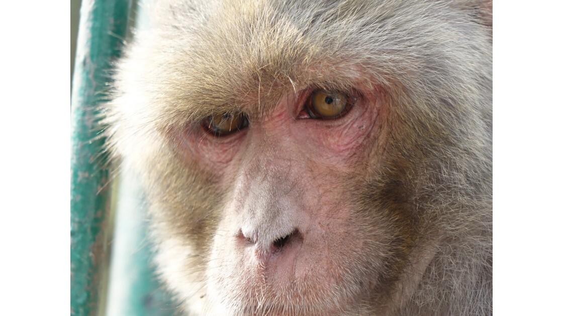 Népal Les singes de Pashupatinah 3