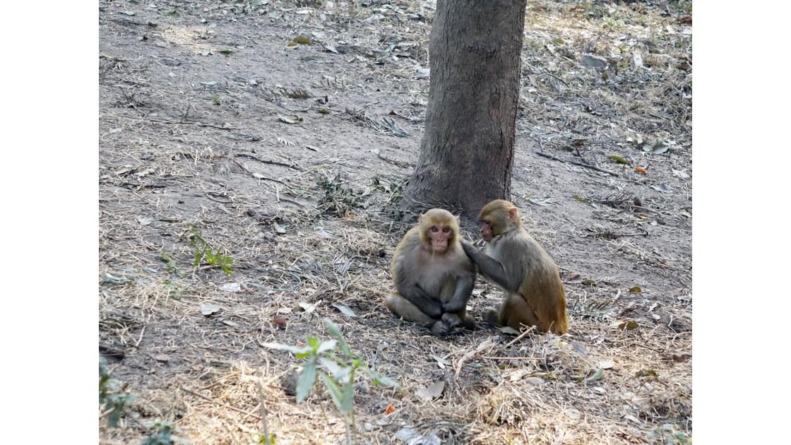 Népal Les singes de Pashupatinah 1