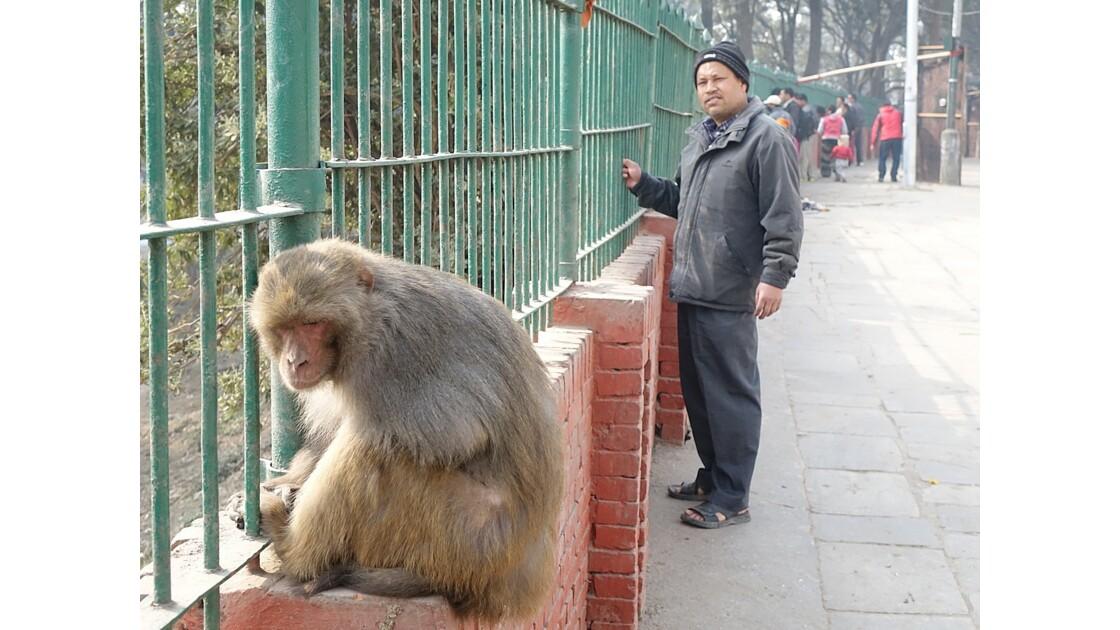 Népal Les singes de Pashupatinah 2