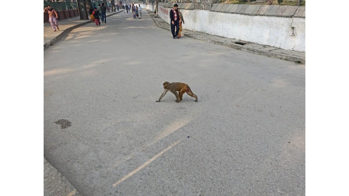 Népal Les singes de Pashupatinah 4