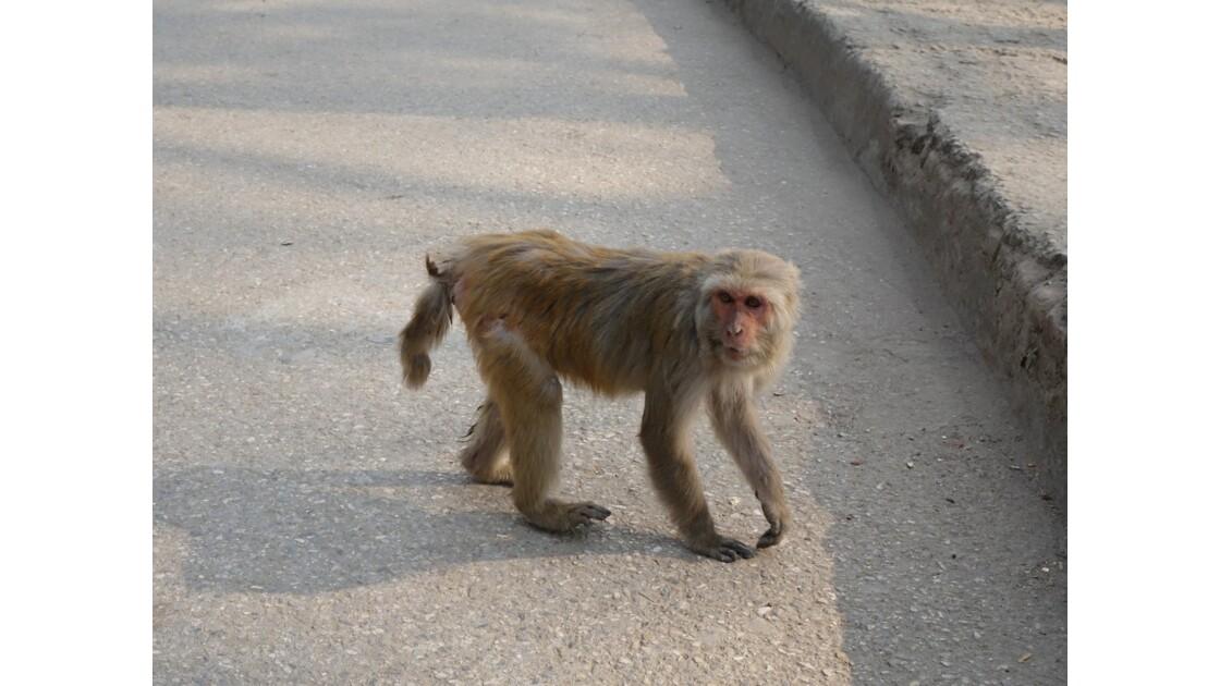 Népal Les singes de Pashupatinah 5