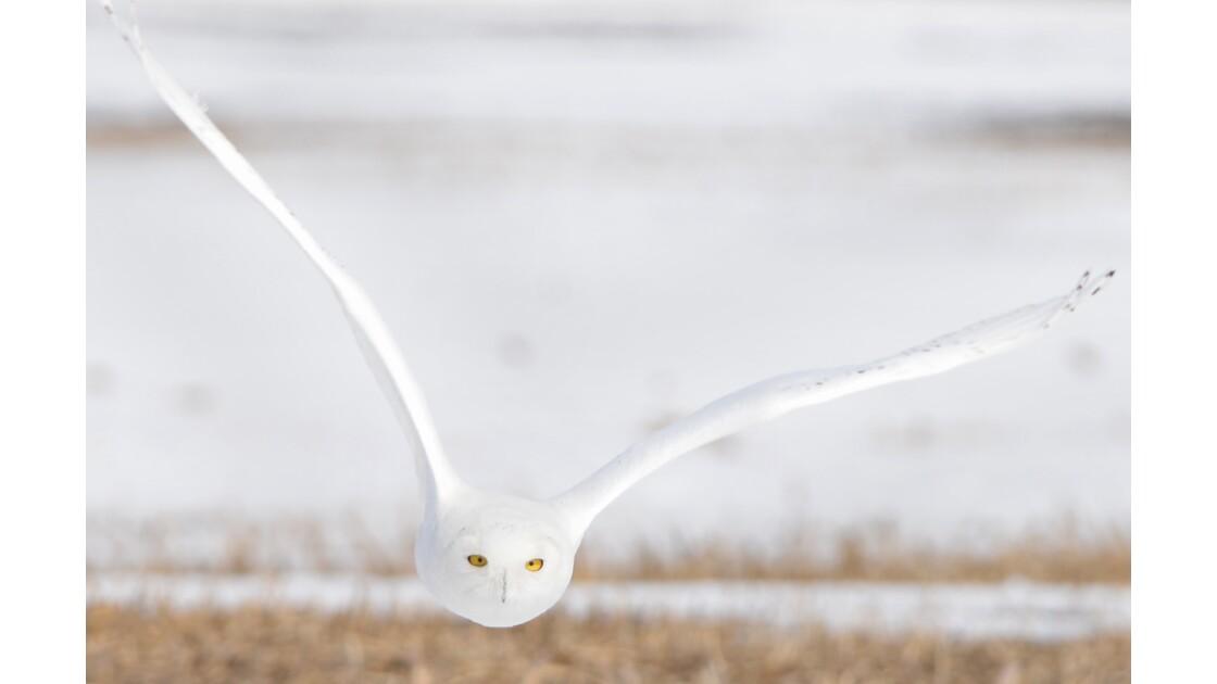 Harfang des neiges mâle en vol