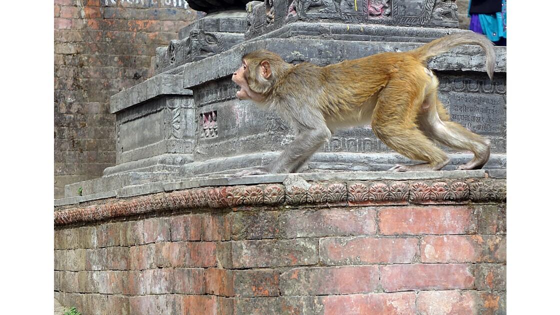 Népal Les singes de Swayambunath 1