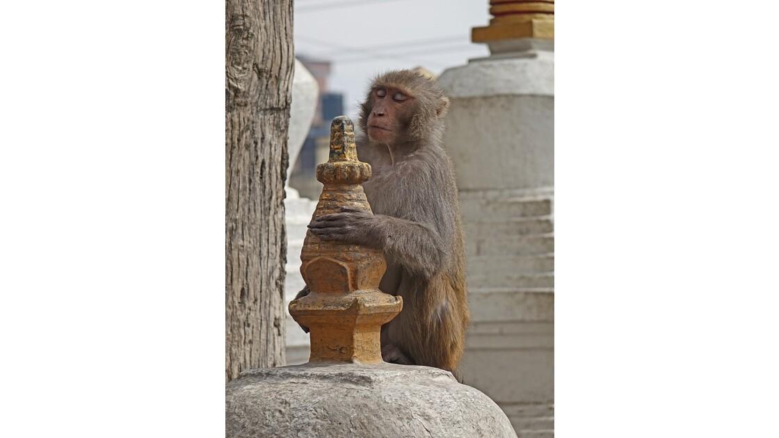 Népal Les singes de Swayambunath 2
