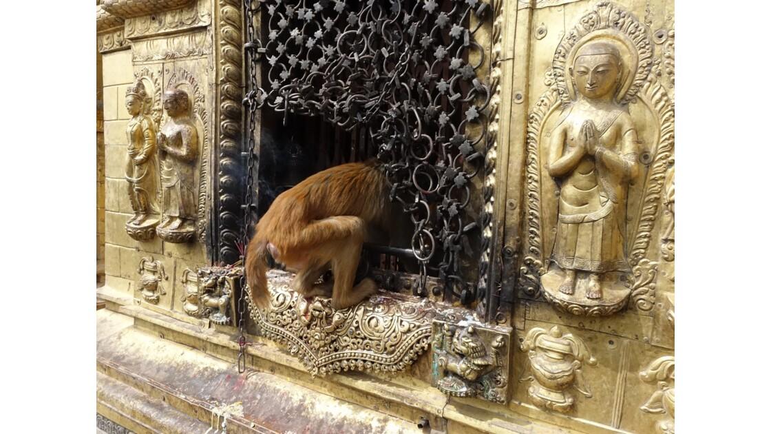Népal Les singes de Swayambunath 3