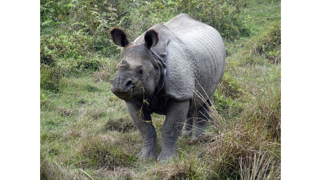 Népal Parc de Chitwan Rhinocéros unicorne 4
