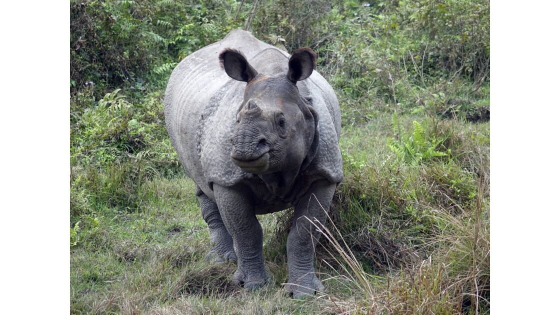 Népal Parc de Chitwan Rhinocéros unicorne 5