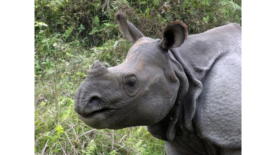 Népal Parc de Chitwan Rhinocéros unicorne 8