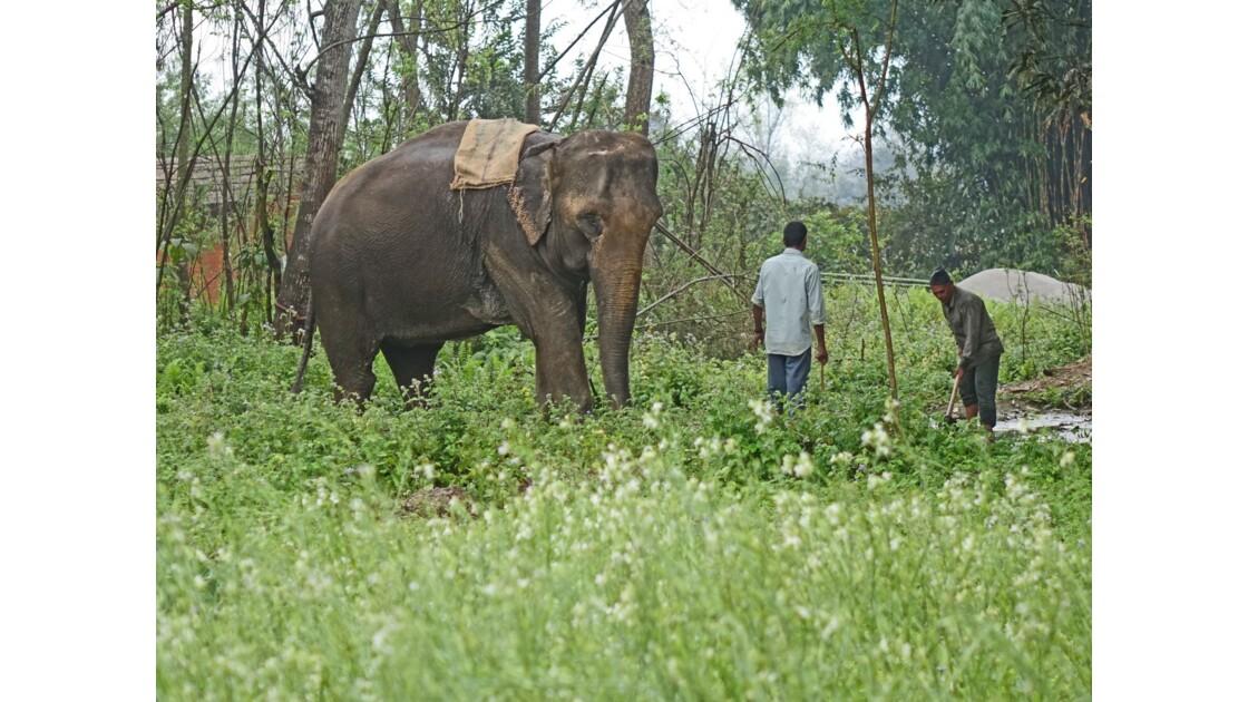 Népal Parc de Chitwan Eléphant au travail
