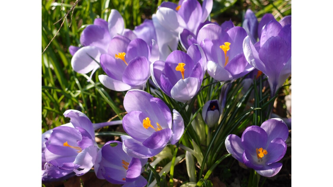 Mauve de printemps