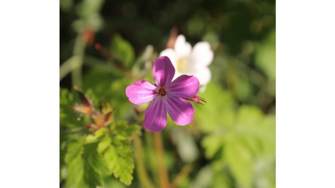 Mise en lumière d'une petite fleur de sentier