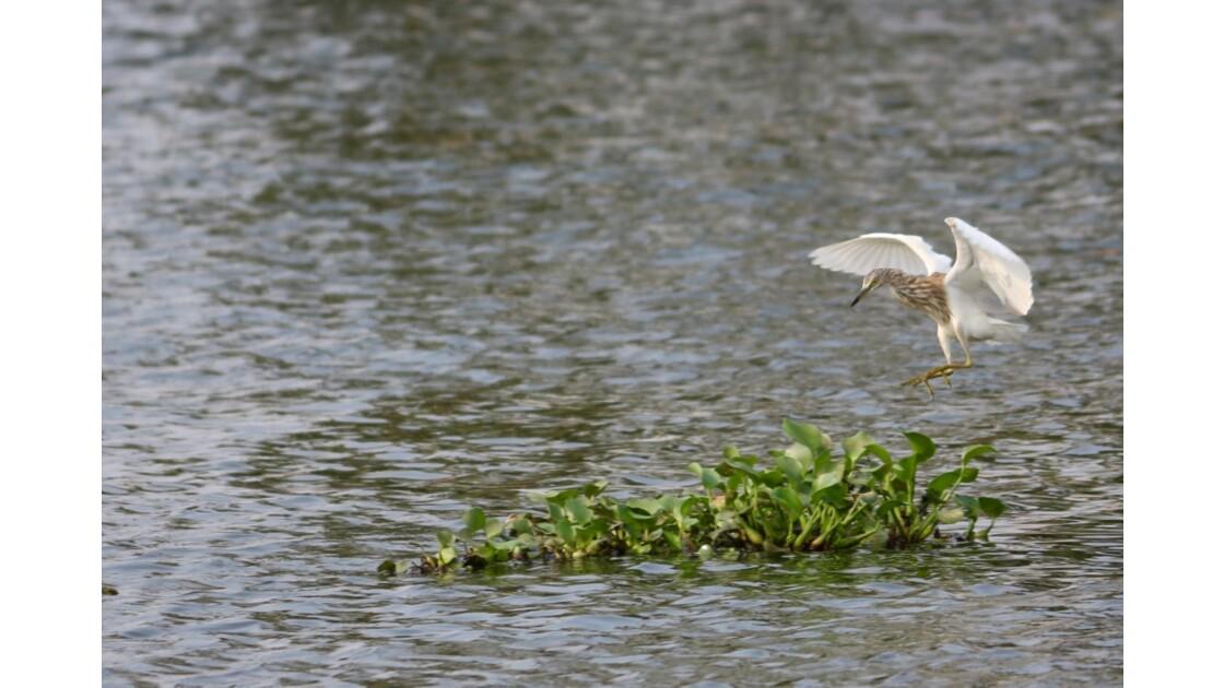 oiseaux d'Inde