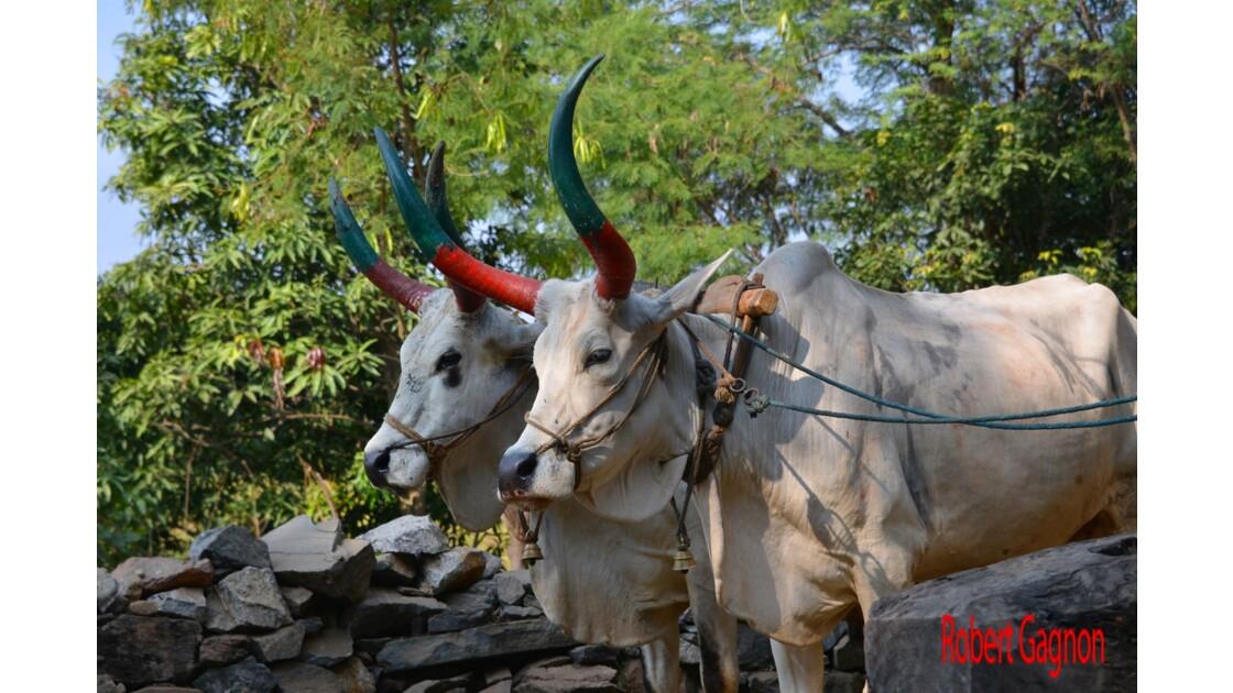 Deux vaches au travail
