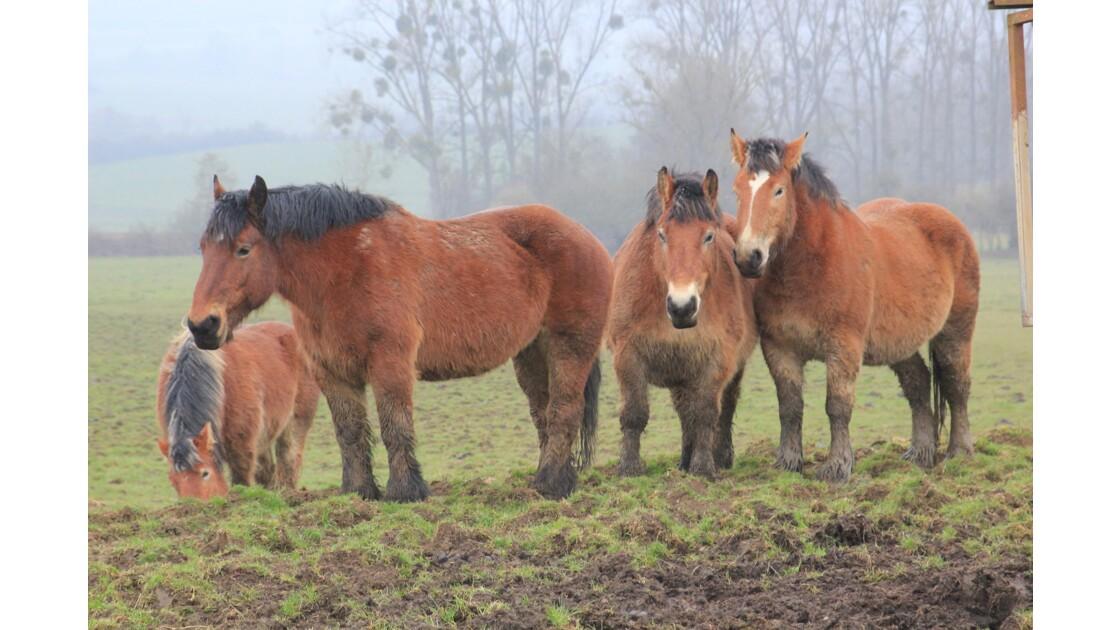 Ardennes , Carignan:sous le poids de près de 800kg la pâture souffre