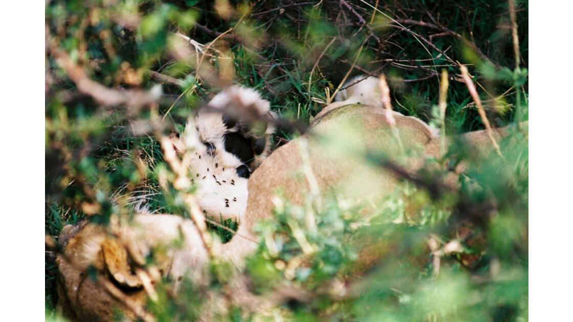 Pates de lion
