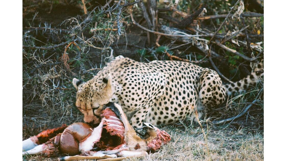 Repas du guépard