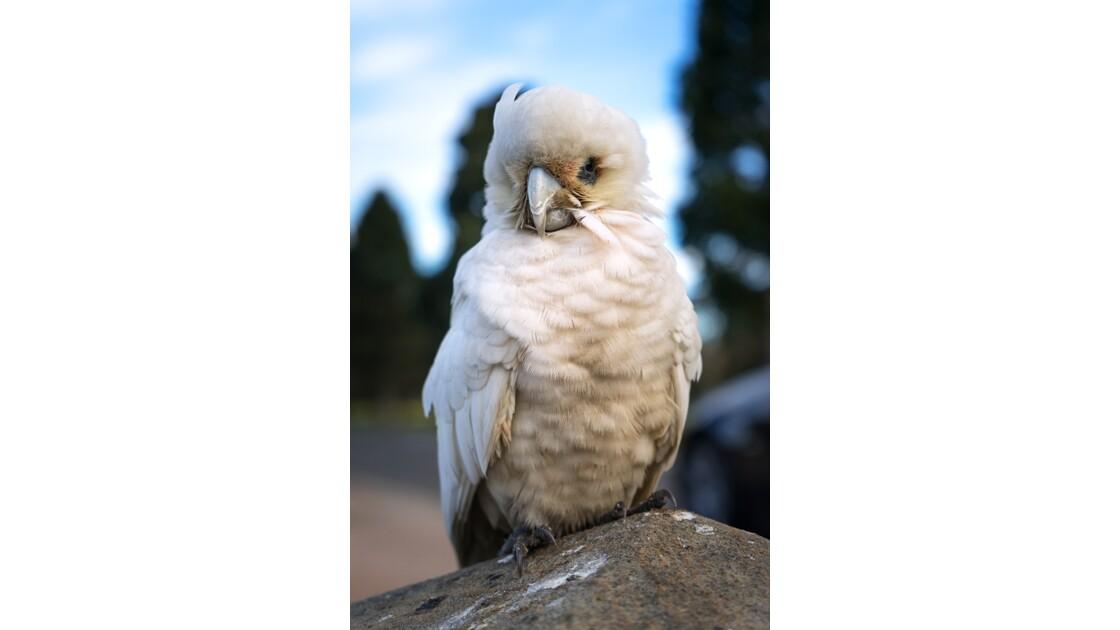 Baby cockatoo