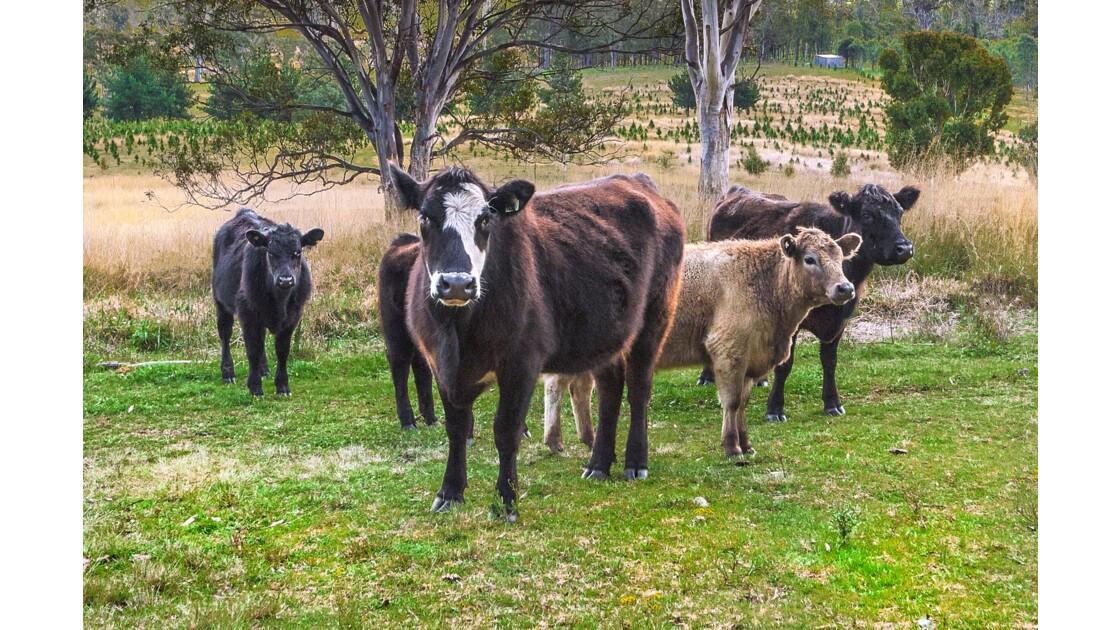 Aussie cow