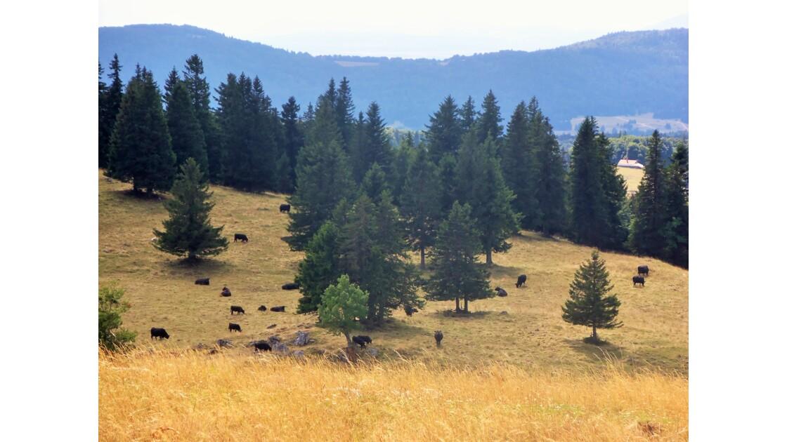 Troupeau de vaches au Creux-du-Van