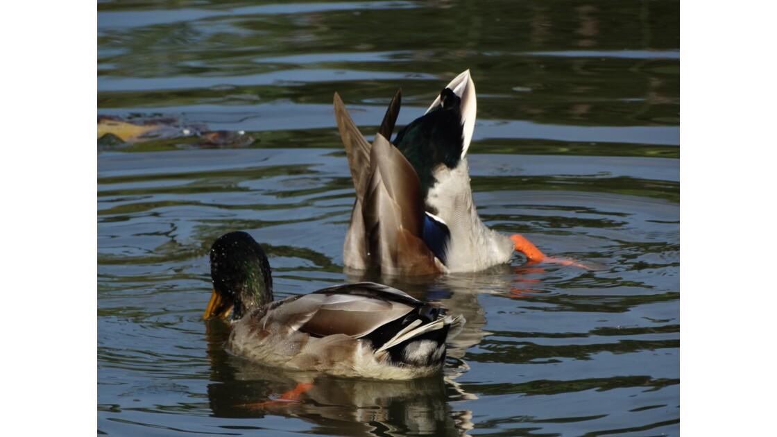 La marre des canards