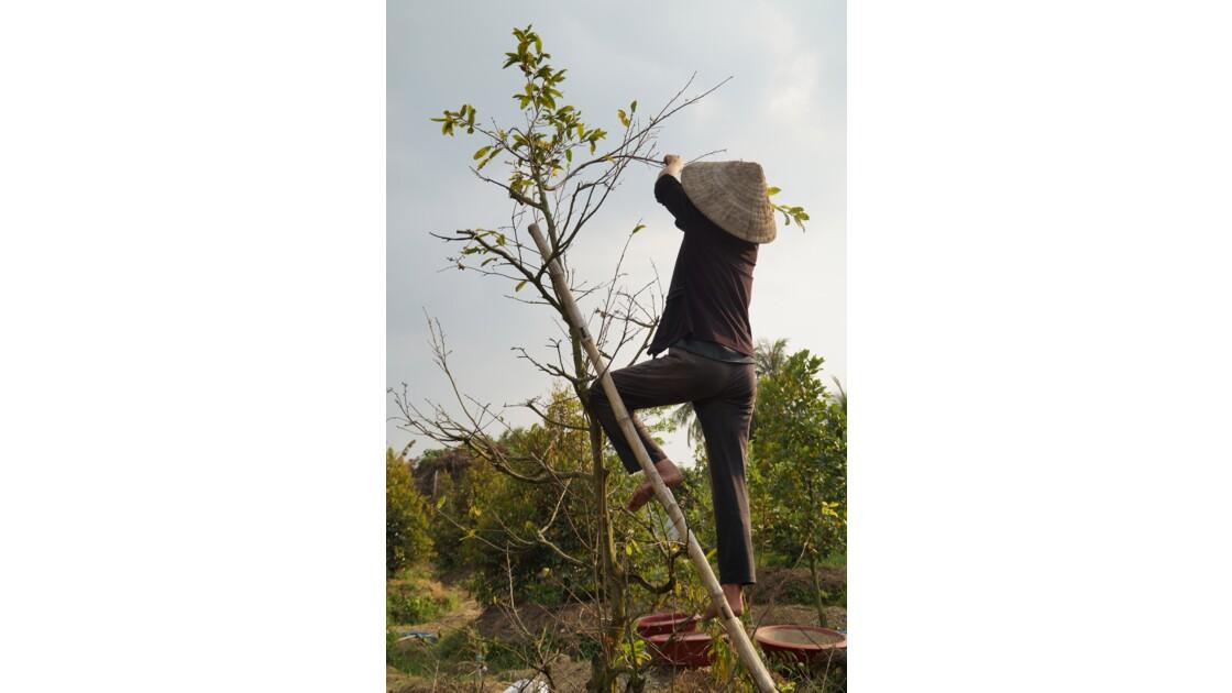 Récolte de fruits dans un verger des bords du Mekong