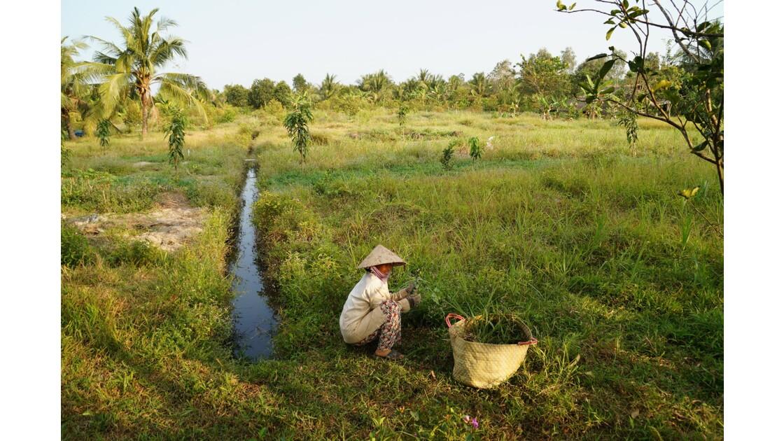 Récolte d'herbes aromatiques sur les bords du Mekong