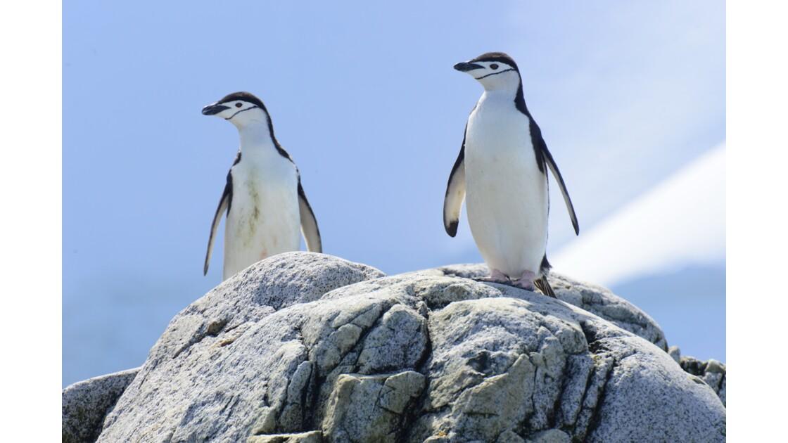 Manchots à jugulaire en Antarctique