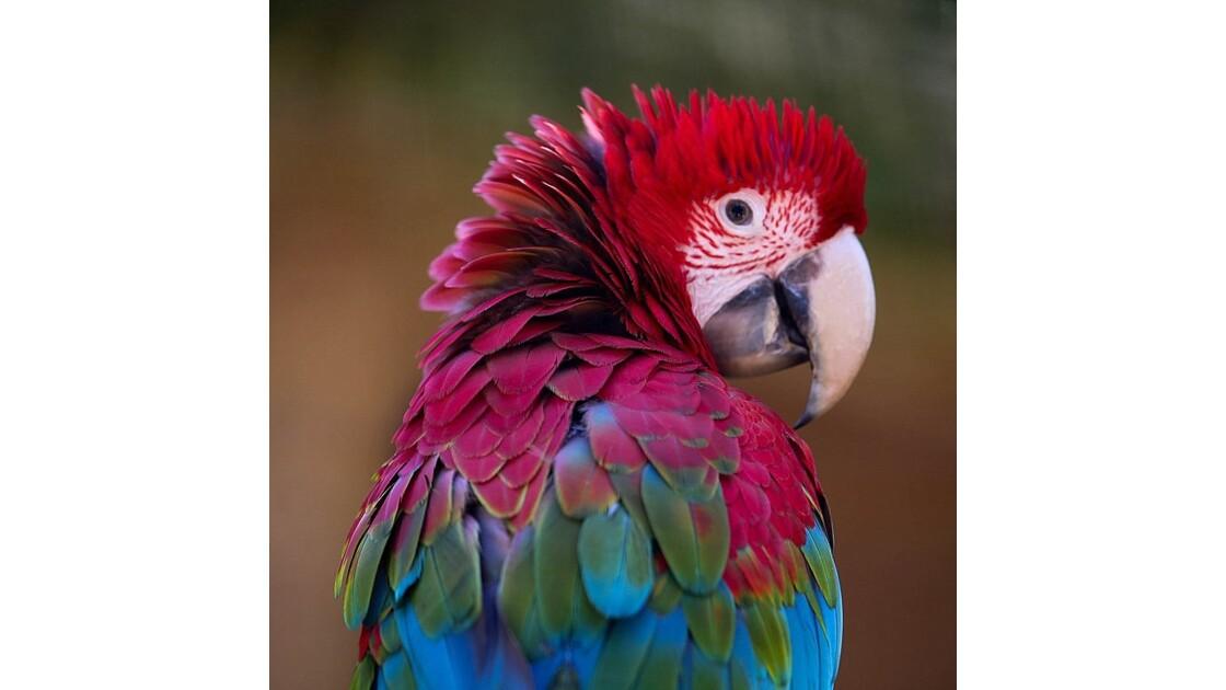 perroquet du Brésil