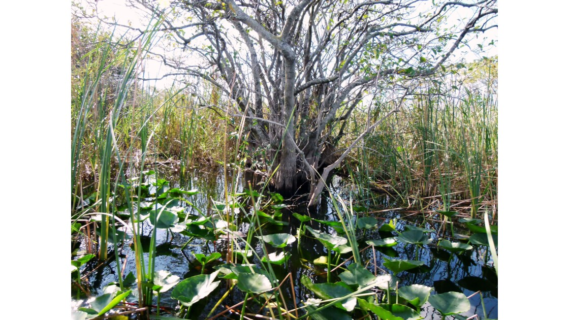 La flore des Everglades