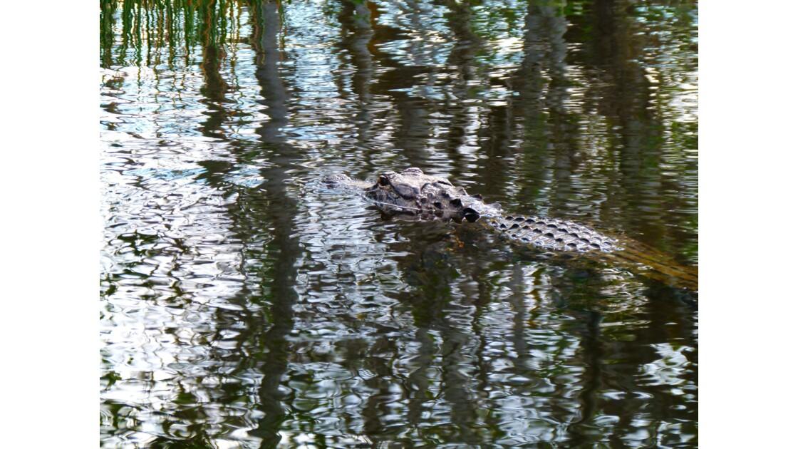 Alligator, le roi des Everglades