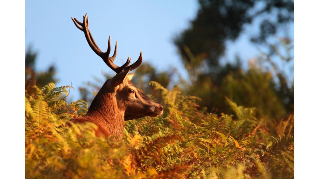 Brame du cerf en Auvergne