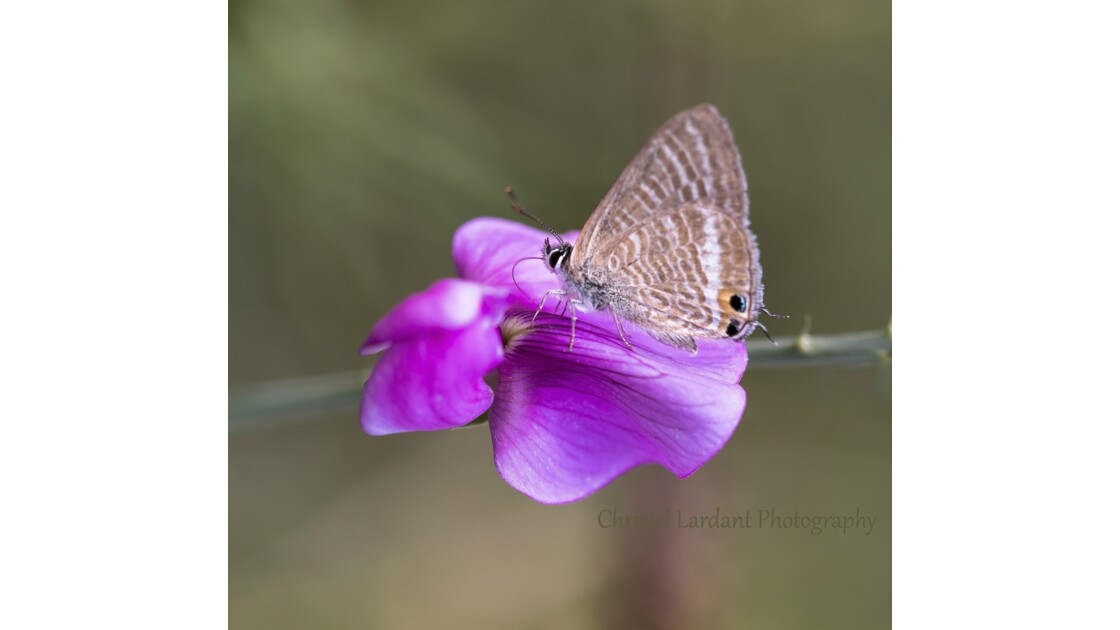 Macro de Papillon