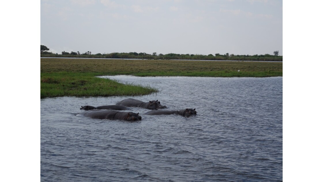 Botswana hippopotames sur le fleuve Chobe 4