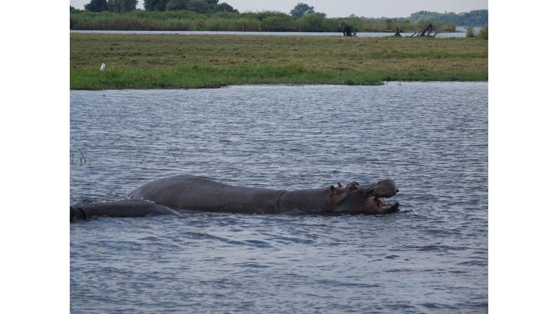 Botswana hippopotames sur le fleuve Chobe 5