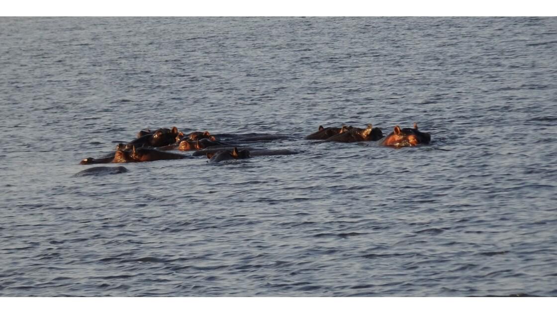 Botswana Hippos au soleil couchant sur fleuve Chobe