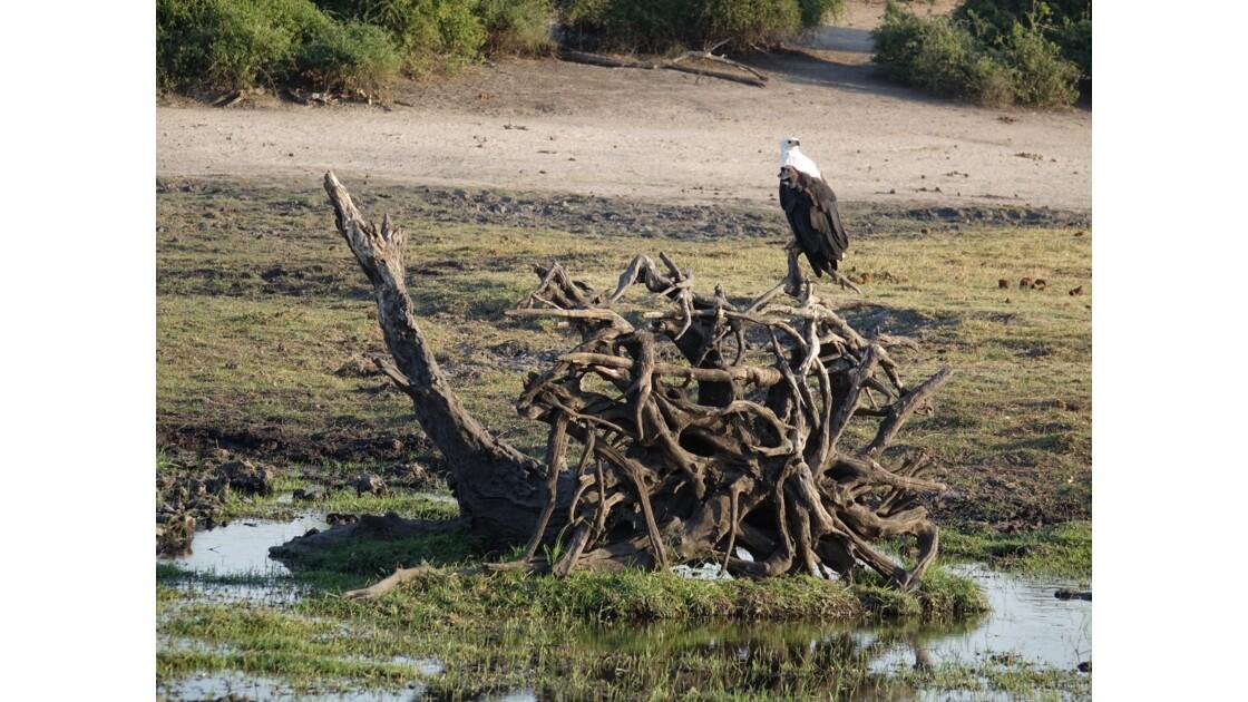 Botswana aigle pêcheur sur le fleuve Chobe 3