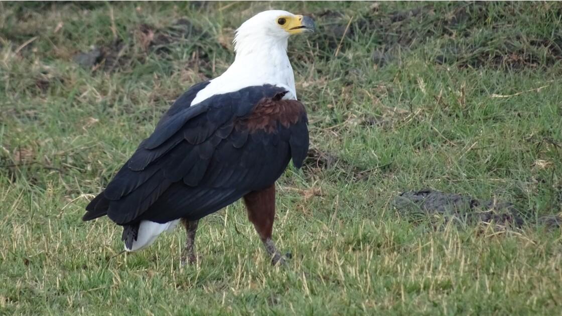 Botswana aigle pêcheur sur le fleuve Chobe 4