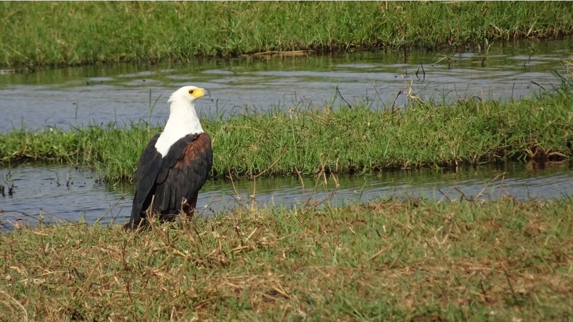 Botswana aigle pêcheur sur le fleuve Chobe 5