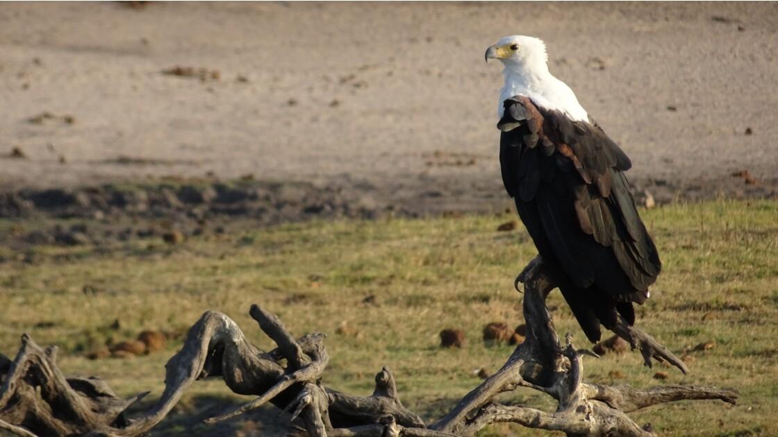 Botswana aigle pêcheur sur le fleuve Chobe 6