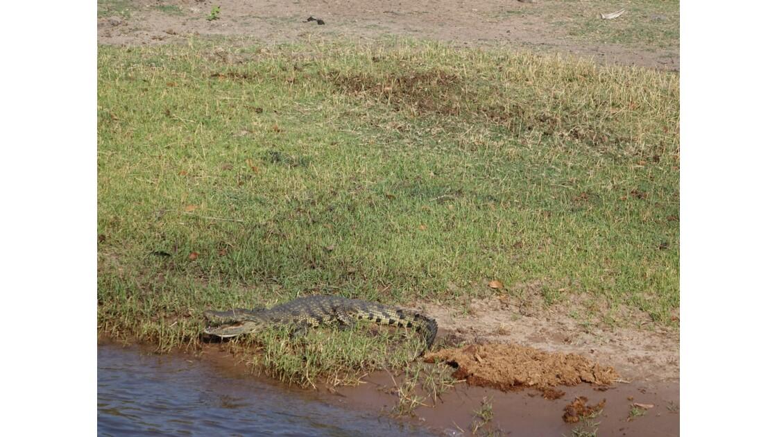Botswana crocodile sur le fleuve Chobe 4