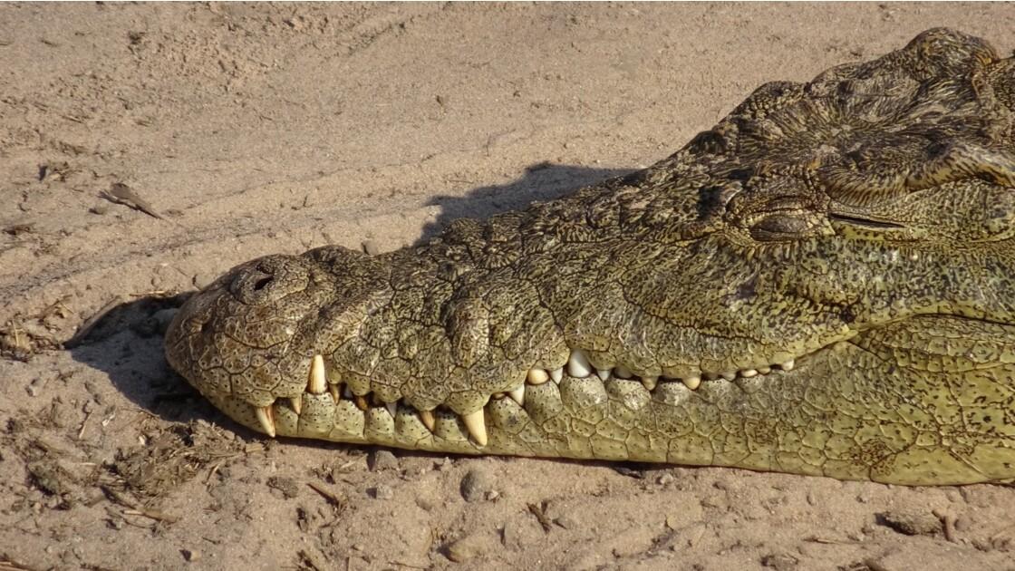 Botswana crocodile sur le fleuve Chobe 1