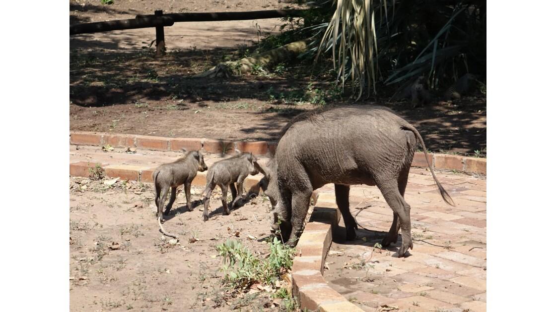Botswana Chobe la famille phacochère
