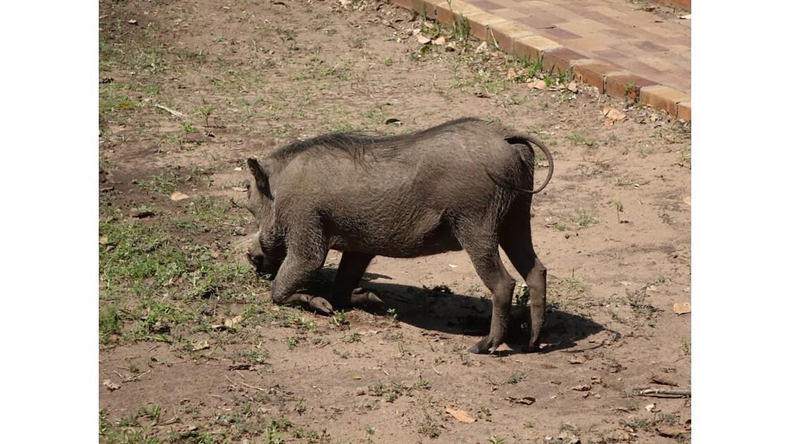 Botswana Chobe la prière du phacochère