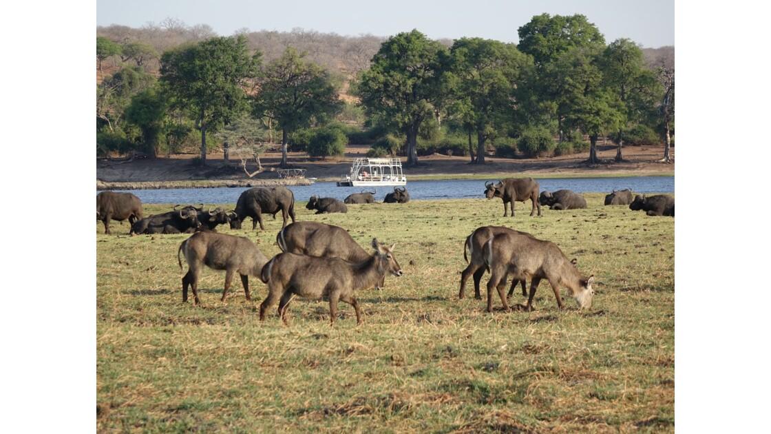 Botswana la vie sur le fleuve Chobe 2