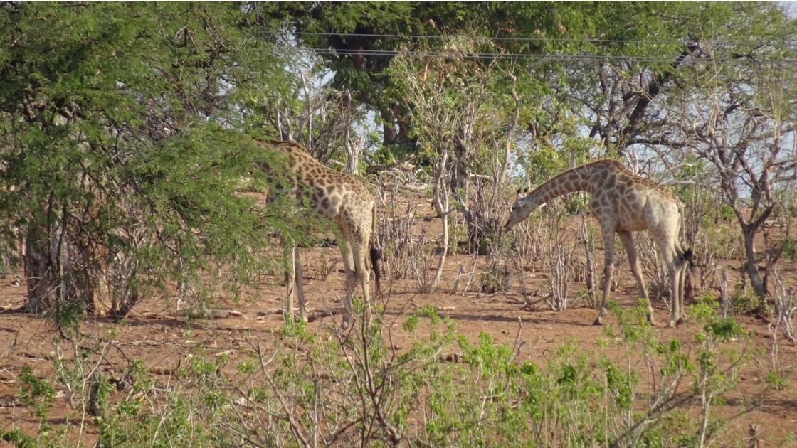 Botswana la vie sur le fleuve Chobe 3